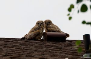 Owls: In Idaho and Beyond
