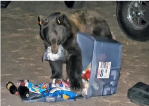 Bear Safety Tips – Food Storage