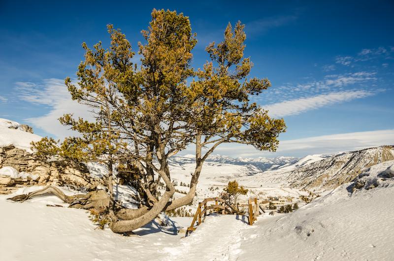 Struggles of the Whitebark Pine
