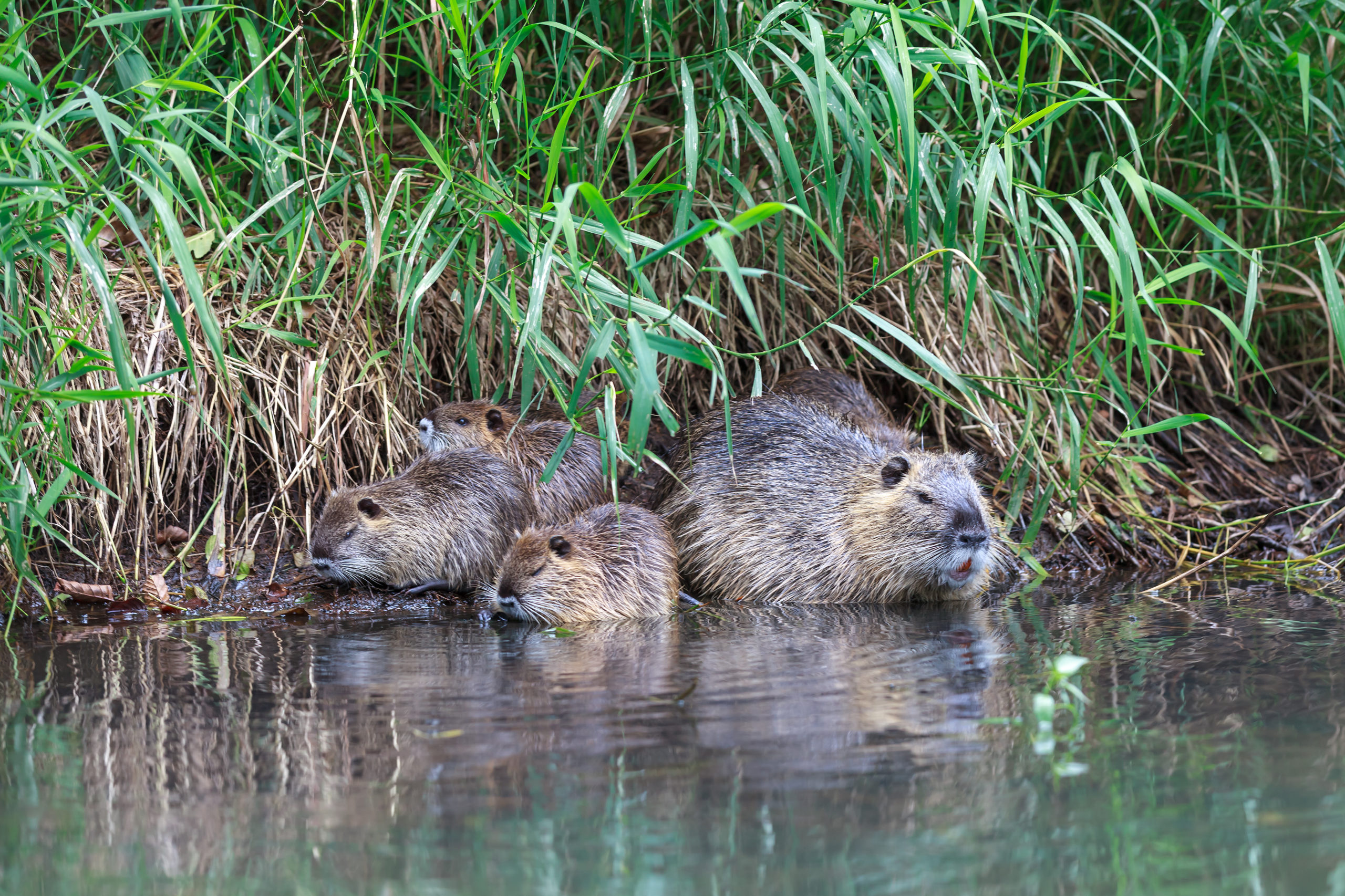 Beavers are Forces of Nature